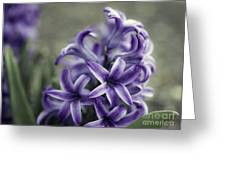 Purple Hyacinth  Greeting Card