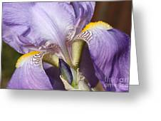 Purple Iris Beauty Greeting Card