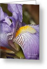 Purple Iris Closeup Greeting Card