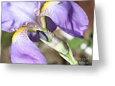 Purple Iris With Focus On Bud Greeting Card