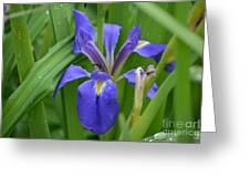Purple Iris With Insect Greeting Card