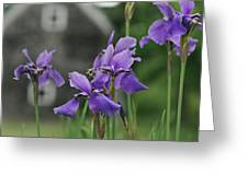Purple Irises Greeting Card