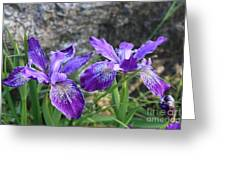 Purple Irises With Gray Rock Greeting Card