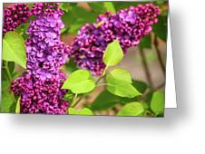 Purple Lilac Greeting Card