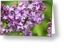 Purple Lilac Flowers Greeting Card