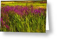 Purple Loosetrife And Cat-tails Greeting Card
