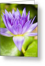 Purple Lotus Blossom Greeting Card