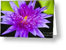 Purple Lotus Greeting Card