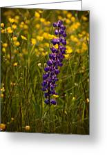 Purple Lupin And Buttercups Greeting Card