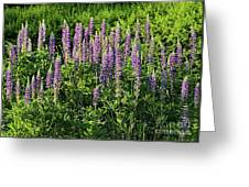 Purple Lupines In Summer Greeting Card