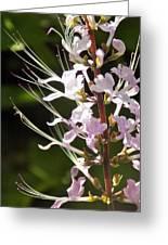 Purple Lycoris Greeting Card