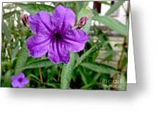 Purple Mexican Petunia Greeting Card