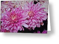 Purple Mums Greeting Card