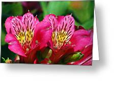 Purple Peruvian Lily Greeting Card