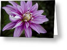 Purple Pink Dahlia Greeting Card