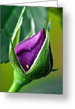 Purple Rose Bud Greeting Card
