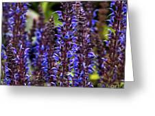 Purple Salvia Sage Greeting Card