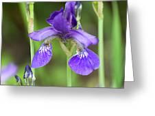 Purple Siberian Iris Greeting Card
