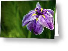Purple Siberian Iris Flower Closeup Greeting Card
