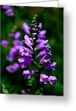 Purple Skullcap Bloom Greeting Card
