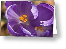 Purple Spring Crocus Greeting Card