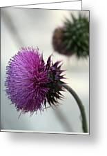 Purple Thistle Greeting Card