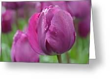 Purple Tulip With Water Drops Greeting Card