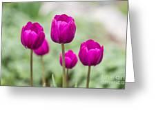 Purple Tulips 1 Greeting Card