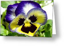 Purple White And Yellow Pansy Greeting Card