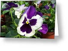 Purple White Pansy Greeting Card