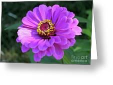 Purple Zinnia  Greeting Card