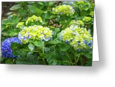 Purplea And Yellow Hydrangea Flowers Greeting Card