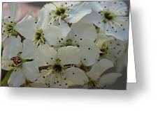 Purpleleaf Sand Cherry Blossoms Greeting Card