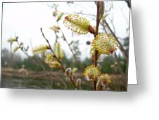 Pussy Willow Blossoms Greeting Card