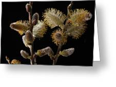 Pussy Willow Greeting Card