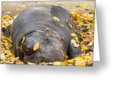 Pygmy Hippopotamus 1 Greeting Card