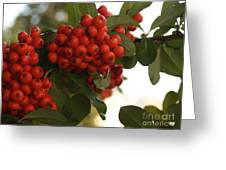 Pyracantha Berries In December Greeting Card