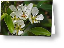 Pyrus Communis Conference Greeting Card