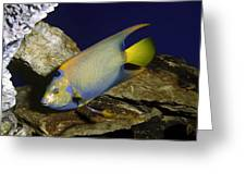 Queen Angelfish Greeting Card
