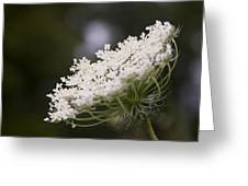 Queen Anne's Lace 1 Greeting Card