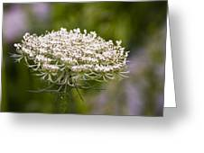 Queen Anne's Lace 2 Greeting Card