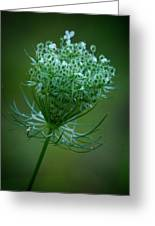 Queen Annes Lace - 365-164 Greeting Card