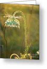 Queen Anne's Lace In Evening Greeting Card