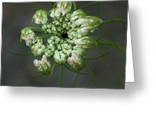 Queen Anne's Lace In Waiting Greeting Card