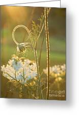 Queen Anne's Lace Sunset Greeting Card