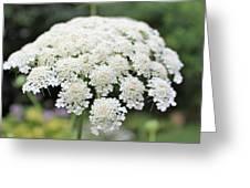Queen Ann's Lace Greeting Card