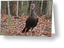 Questioning Wild Turkey Greeting Card