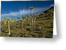 Quiver Tree Forest Greeting Card