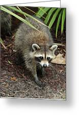 Raccoon Bandit Greeting Card