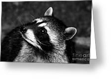 Raccoon Looking Greeting Card